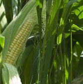 Sweet Corn — Stock Photo