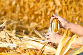 Harvesting a corn — Stock Photo