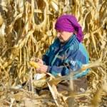 Peasant woman harvests corncobs — Stock Photo