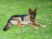 Police dog (German shepherd dog) — Stock Photo