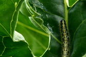 Caterpillar on a leaf — Stock Photo