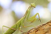 Praying Mantis stalking a bug — Stock Photo