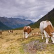 Cows on alpine field — Stock Photo