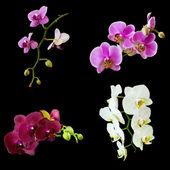 Phalaenopsis isolated on black — Stock Photo