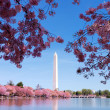 Washington DC cherry blossom — Stock Photo