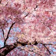 Royalty-Free Stock Photo: Cherry blossom background