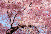 Cherry blossom background — Stock Photo