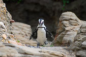 Pinguin zu fuß — Stockfoto