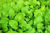 Turnip Leaves — Stock Photo
