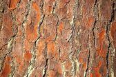 Pine tree bark. — Stock Photo