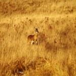 Alert deer — Stock Photo