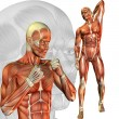 Male muscle study - Stock Photo
