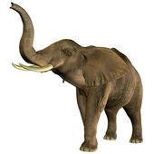Elephant trumpeting — Stock Photo