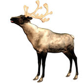 Reindeer with antler — Stock Photo