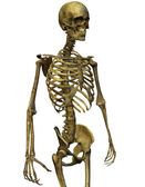 Male skeleton torso — Stock Photo