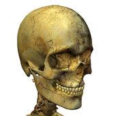 Male skull — Stock Photo