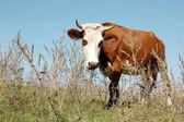 Mera üzerinde inek — Stok fotoğraf
