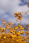秋季黄色浆果 — 图库照片