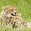 Royalty-Free Stock Photo: Cheetah cubs