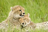 Cheetah welpen — Stockfoto