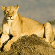 Stock Photo: Lioness in Kenya's Maasai Mara