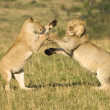 Stock Photo: Lions fighting