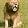 Lion roaring — Stock Photo