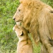 Stock Photo: Large male lion with cub