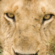 Stock Photo: Lion face close up
