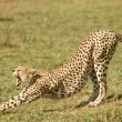 Stock Photo: Cheetah in Kenya's Maasai Mara