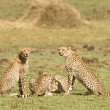 Stock Photo: Cheetah group