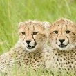 Cheetah cubs - Stock Photo