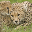 Cheetah and cub — Stock Photo