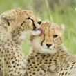 Cheetah cubs — Stock Photo #4019117