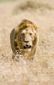 Majestic male lion — Stock Photo