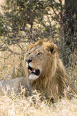 Majestic male lion — Stock Photo