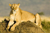 Lioness in Kenya's Maasai Mara — Stock Photo