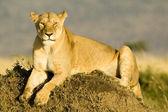 Lioness in Kenya's Maasai Mara — Stock Photo