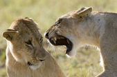 Dominant lion — Stock Photo