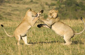 Lions fighting — Stock Photo