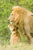Large male lion with cub — Stok fotoğraf