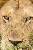 Lion face close up — Stock Photo