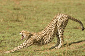 Cheetah in Kenya's Maasai Mara — Foto Stock