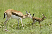 Newborn gazelle and mother — Stock Photo