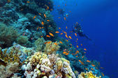 Divers on a colourful reef — Stok fotoğraf
