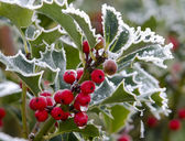 Holly — Stockfoto