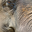 Stock Photo: Asielephant