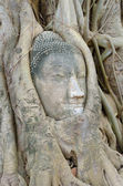 Buddha head in tree roots — Stok fotoğraf