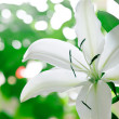 Lily Closeup — Stock Photo #3965906