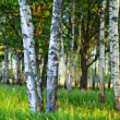 Birch forest — Stock Photo #4020661